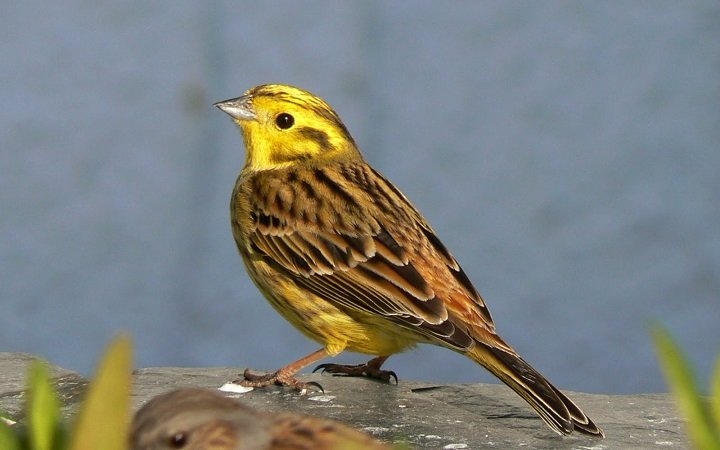 The male Yellowhammer
