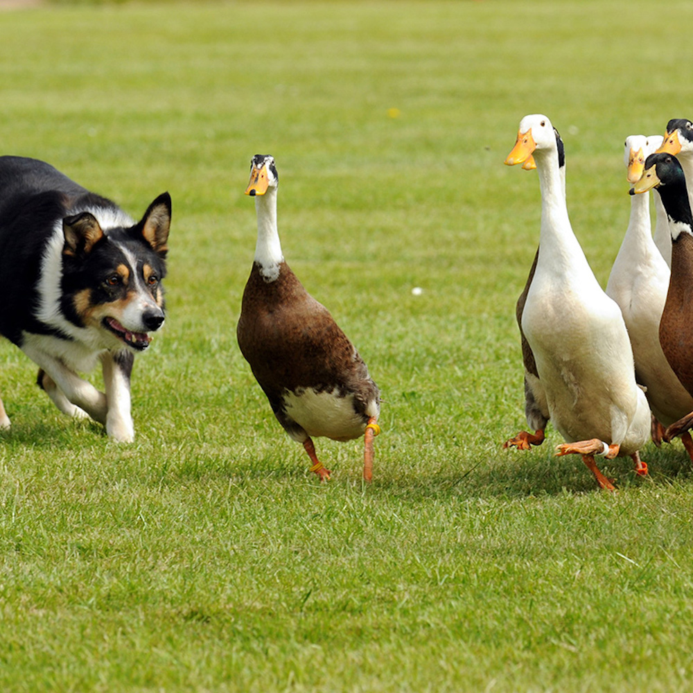 sheep dog grass ducks