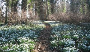 Norfolk Snowdrops